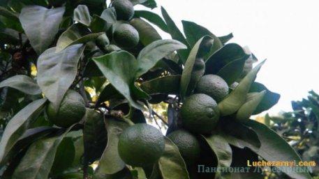 Плоды Абхазии