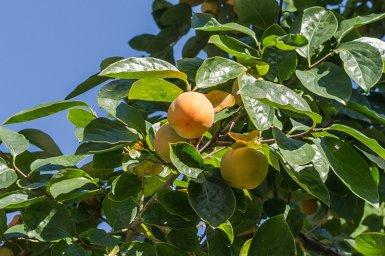 Плод зреющего урожая